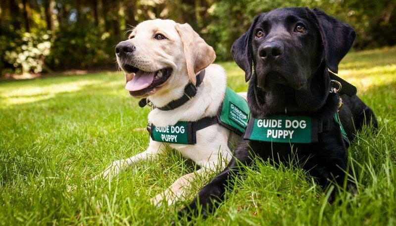 guide dog puppies
